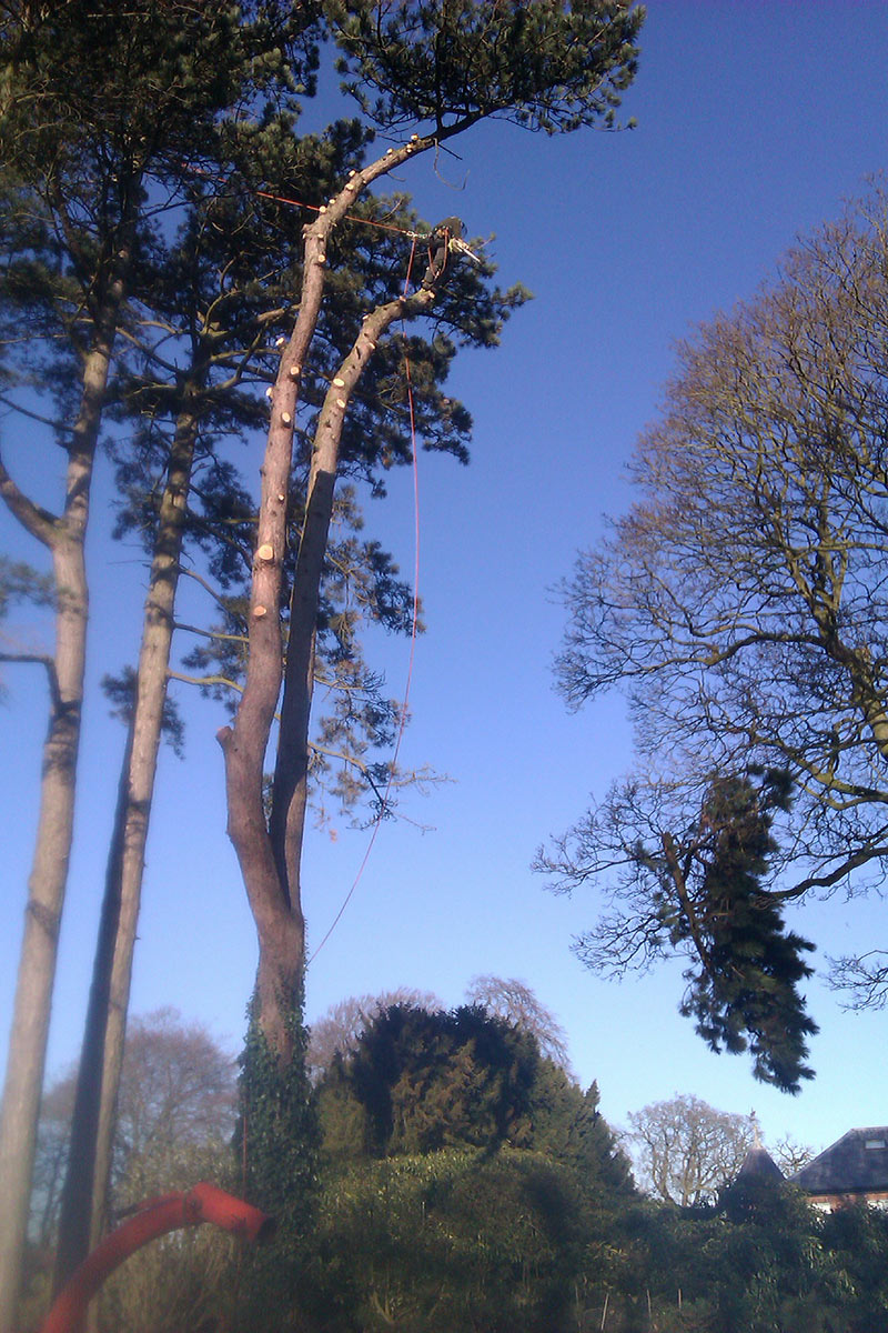 Gallery falconer tree specialists ltd merseyside for Mature pine trees